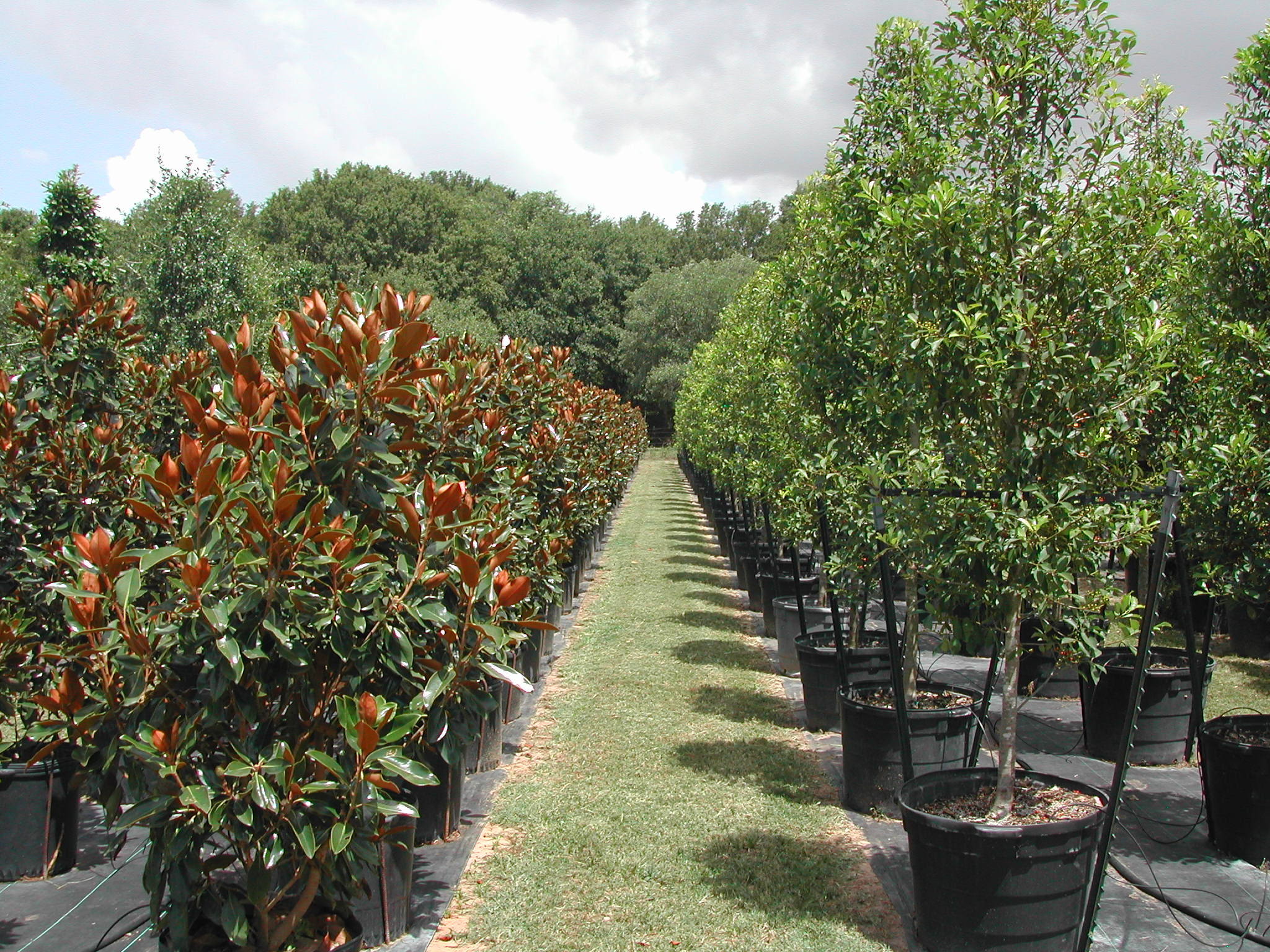 Bill Bownds Nursery Trees And Tree Installation Home Houston Live Oaks Holly Treeore