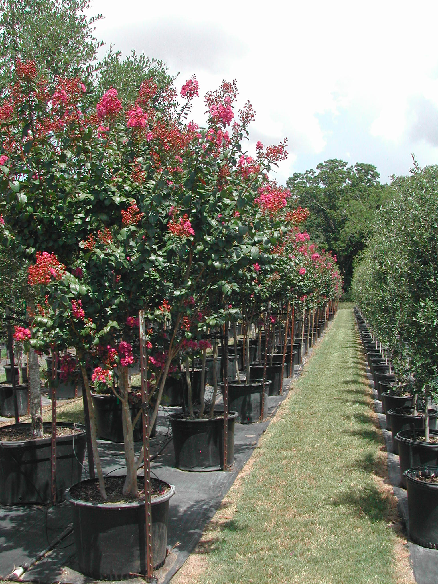 For Over Forty Years People In The Houston Area Have Trusted Bill Bownds Nursery To Satisfy Their Tree Needs